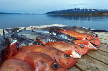 catched at sea in Norway, Tromso.Sebastes and codfish