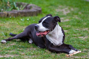 Portrait of  Staffordshire Terrier lying on the grass