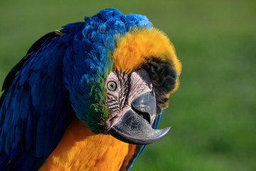 Portrait Image of colorful Parrot, Head Tilted Upside Down - Blue and Yellow Feathers, Green soft background