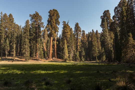 View of Giant Sequoia Trees Across a Green Meadow at Sunset
