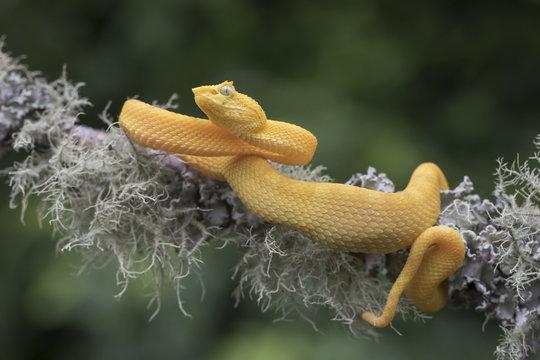 Yellow Eyelash Viper Snake (Bothriechis schlegelii) hanging from lichen covered branch