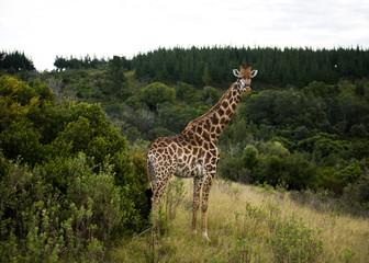 Giraffe - safaru