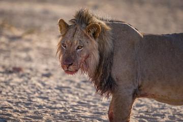 lion pride in the wild