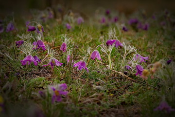 Russia. The South Of Western Siberia, spring flowers of the Altai mountains. Prostrel (Sleep-grass).