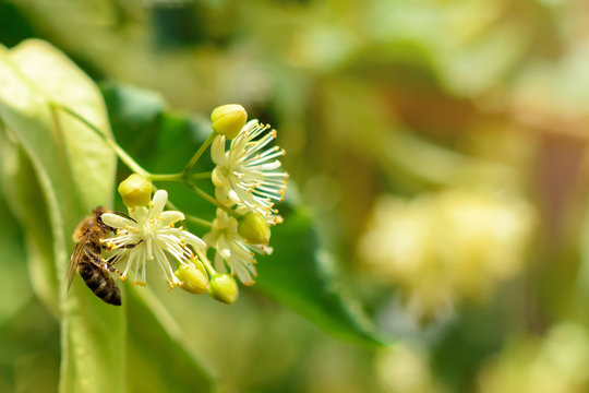 Honey bee on the blossoming linden flowers at sunny day in garden. Plant decay with insects.