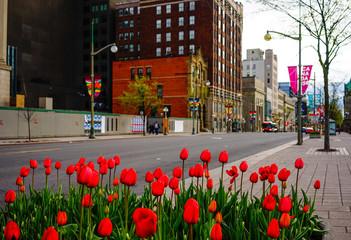 Tulip flowers blooming on street