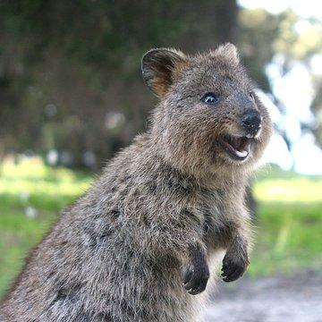 Laughing quokka - a little marsupial living on Rottnest Island near Perth, Western Australia