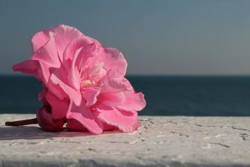 красивая розовая роза на фоне размытого море