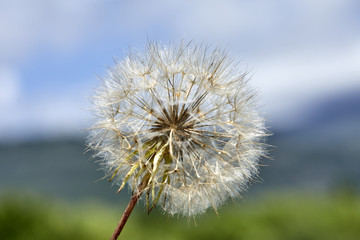 dandelion flower closeup