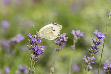 Butterfly on a background of lavender flowers. Bright summer background. White butterfly on lavender flowers. close up.