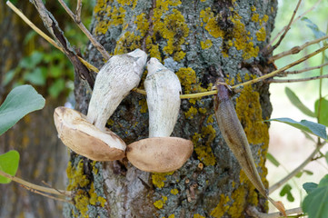 White mushrooms are dried on a branch on a tree. Freshly picked mushrooms. Forest plants. Camping. Rest at nature. Selective focus.