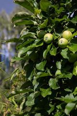 unreife grüne Äpfel am Apfelbaum