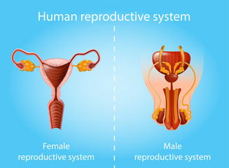 Human Reproductive System Vector Anatomy Scheme