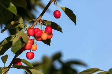 Rote Süßkirschen am Baum mit Laub