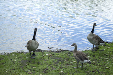 Canadian geese family by the lake in the forest