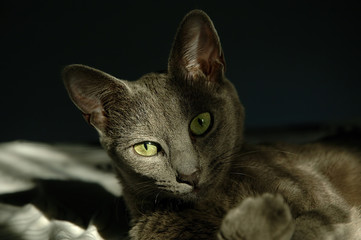 Adorable gray cat with green eyes lounging