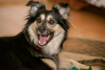 Cropped shot of a Border Collie cross-breed dog, a cute pup in black and tan, sitting and looking curiously with mouth open