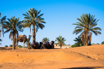 Three camels resting under palm trees in Sahara desert