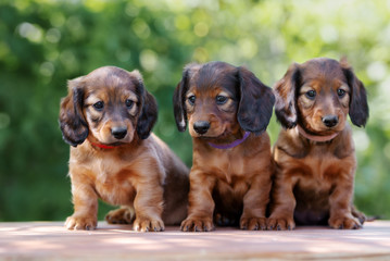 three adorable dachshund puppies posing together outdoors in summer
