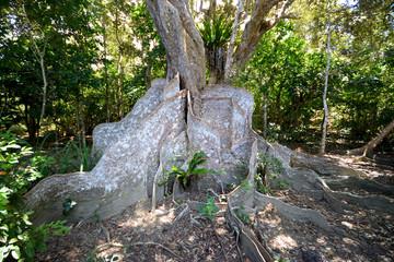 板状根のマングローブ 石垣島 風景