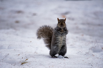 A squirrel sitting in the snow in winter