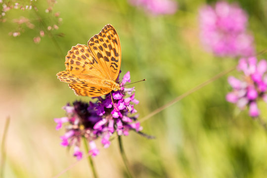 Macro of a Silver-washed fritillary on a  common hedgenettle