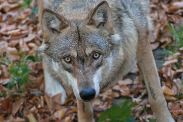 Portrait of Gray Wolf (Canis lupus) in autumn in the forest