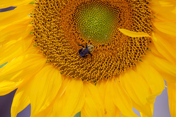 Sunflower Plants with a Bee 3