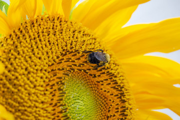 Sunflower Plants with a Bee 2