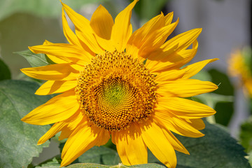 Sunflower Plant in the Summer