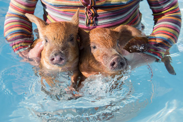 Happy farmer in striped clothes color freedom flag holds in hands two red pigs and lets them swim in blue pool water. Concept of animal health, love of nature, respect for peace, pride. Copy space.