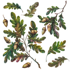 Watercolor handsketched collection of oak tree branches, twigs, leaves and acorns isolated on white. Vintage style botanical illustration. DIY rustic set, floral wedding decoration.