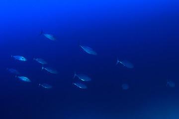 Tuna fish live in ocean
