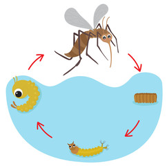 Life Cycle of the Mosquito