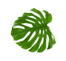 Tropical Monstera leaf on white background