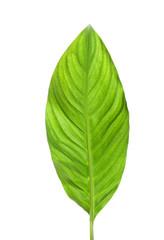 Beautiful tropical Spathiphyllum leaf on white background