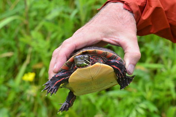 Eastern Painted Turtle, up close
