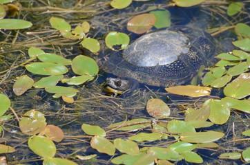 Blandings Turtle in swamp