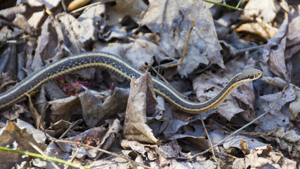 A common yellow and brown striped garter snake inches its way across the leafy forest floor, searching for a meal.