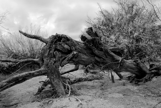 Infrared Dead tree in dry wash Arizona USA