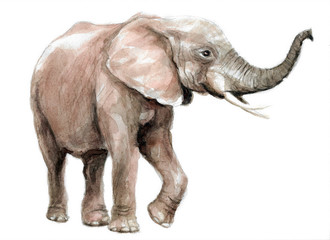 watercolor illustration of an elephant, wild animals of africa and a zoo