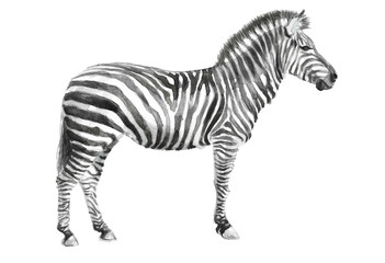 watercolor hand drawing of a zebra, illustration of an African animal