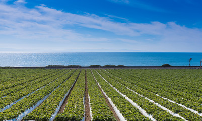 A strawberry field with the pacific ocean in the background. California