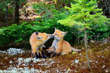 Red fox kits together near their den