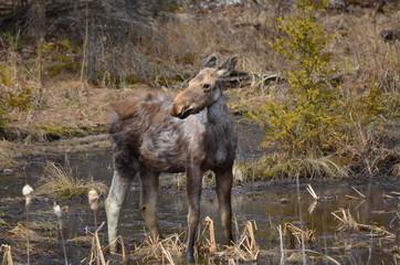 Moose calf in Algonquin Park