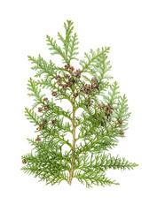Thuja isolated white background Evergreen plant