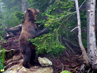A Grizzly Bear in British Colombia, Canada.