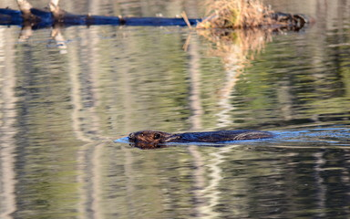 Wild North American Beaver swimming in calm water