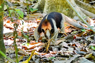 Anteater in the wild