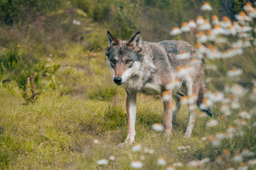 a lonely wolf in the woods with out of focus flowers in the foreground